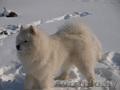 кобель самоедской собаки предлогается для вязок