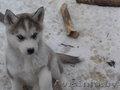 сибирский хаски - чудесные щенки