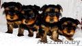Продам щенков йоркширских терьеров
