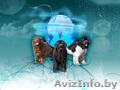 Великолепные щенки ньюфаундленда