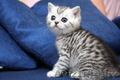 Британские котята Могилев