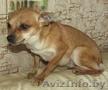 Маленькая собачка ответственным владельцам - Изображение #2, Объявление #1614632