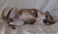 Маленькая собачка ответственным владельцам - Изображение #4, Объявление #1614632