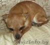 Маленькая собачка ответственным владельцам - Изображение #5, Объявление #1614632